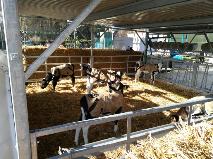 Interesting New Housing Developments For Calves   Department Of Agriculture Calf Housing Plans Photo